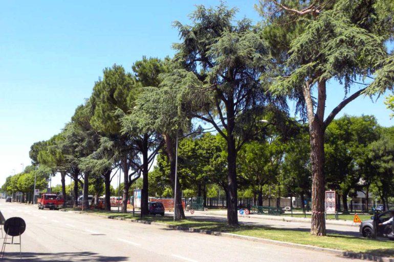 Cedri e pini in via Fra Giocondo allo Stadio (Verona)