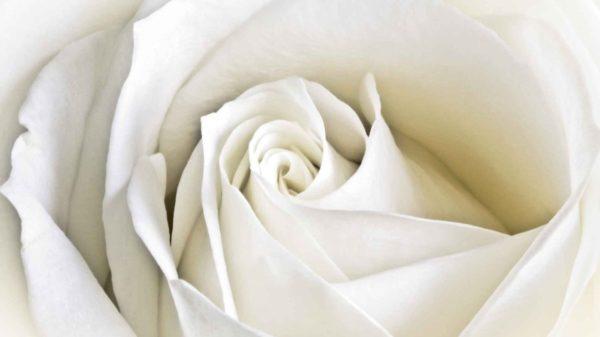coltivo una rosa bianca - enrico de angelis
